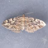 7290 Barberry Geometer Moth - Coryphista meadii