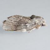 7685 Riley's Lappet Moth - Heteropacha rileyana