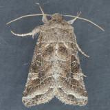 10403 – Lacinipolia erecta