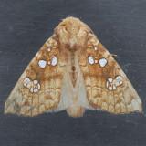 9495 Ash Tip Borer - Papaipema furcata