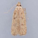 1141 Glyphidocera meyrickella