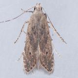 1707 Monochroa angustipennella