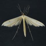 6213 Hellinsia lacteodactylus