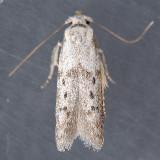 1208  Hypatopa punctiferella