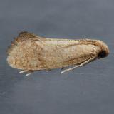 343 Acrolophus bicornutus
