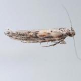 1968 Gnorimoschema alaricella