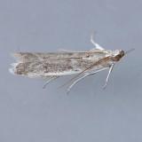 5935 Homoeosoma electella