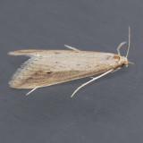 Donacaula nr. tripunctellus