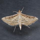 5289 Marasmia Moth  - Marasmia cochrusalis