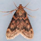 5512 Pink-masked Pyralid - Pyralis disciferalis