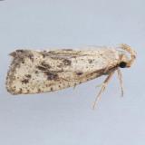 366  Acrolophus mortipennella