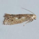 Elachistidae