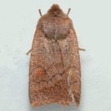 9933 Straight-Toothed Sallow -  Eupsilia vinulenta