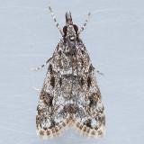 4739  Eudonia heterosalis