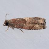 3240  Spruce Bud Moth - Zeiraphera canadensis
