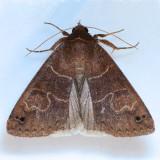 8592  Black-dotted Brown - Cissusa spadix
