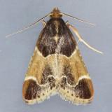 5510 Meal Moth - Pyralis farinalis