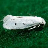 0200 – Prodoxus quinquepunctella ?