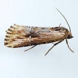 9661 Verbena Moth - Crambodes talidiformis