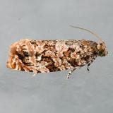 2772 Labyrinth Moth - Phaecasiophora niveiguttana