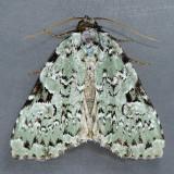 9065 Green Leuconycta – Leuconycta diphteroides