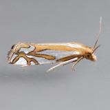 3014   Snakeweed Borer Moth - Eucosma ridingsana
