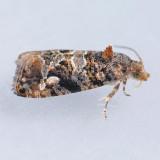 Paralobesia species 2