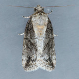 8974  Black-olive Caterpillar - Characoma nilotica