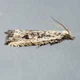 2705 Black-blotched Bactra Moth - Bactra lancealana