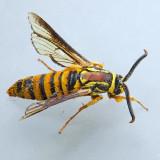 2527 Hornet Clearwing - Paranthrene simulans