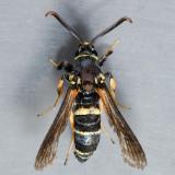 2524 European Poplar Clearwing Moth – Paranthrene tabaniformis