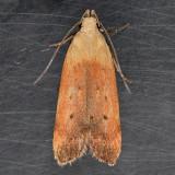 2236 Anacampsis fullonella
