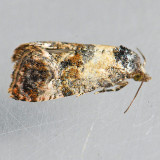 3776 - Cochylis hoffmanana