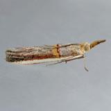 5744  Gold-banded Etiella Moth  - Etiella zinckenella