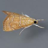4870  White-roped Glaphyria - Glaphyria sequistrialis