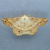 6737 Mottled Euchlaena Moth - Euchlaena tigrinaria