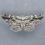 6590  Common Gray  - Anavitrinella pampinaria