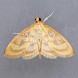 4945  Pale-winged Crocidiphora - Crocidiphora tuberculalis