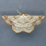 6731 Scrub Euchlaena Moth – Euchlaena madusaria