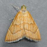 4877 Aethiophysa Moth - Aethiophysa invisalis