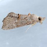 8465 Green Cloverworm - Hypena  scabra