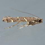 644.1  Caloptilia triadicae
