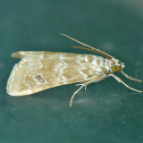 4846 Cabbage Webworm Moth – Hellula rogatalis
