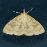 4944 Sawtoothed Crocidophora - Crocidophora serratissimalis