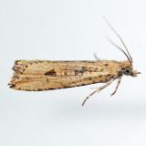 2707  Javelin Moth - Bactra verutana
