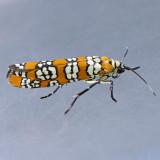 2401 Ailianthus Webworm - Atteva aurea