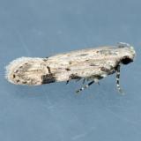 1916 Mesquite Webworm - Friseria cockerelli