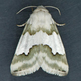 11193  Hulst's Flower - Schinia hulstia