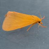 8122  Ruddy Holomelina – Virbia rubicundaria