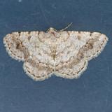 6386  Faint-spotted Angle - Macaria ocellinata